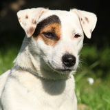 Terrier lindo de Jack Russel no jardim Imagem de Stock Royalty Free