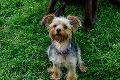 Terrier mignon se reposant sur l'herbe recherchant photographie stock