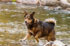Terrier mischte den Zuchthund, der im Wasser spielt lizenzfreie stockbilder