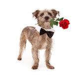 Terrier-Mischung mit Rose und Fliege Stockfoto