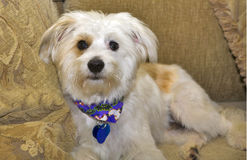Terrier Mix. Terrier Maltese Mix Doggie sitting on a couch Stock Image
