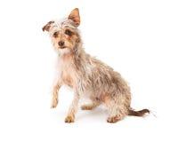 Terrier Mix Raising Paw Stock Photo