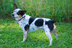 Terrier Mix Standing. Spotted merle terrier mix stands facing left Stock Photo