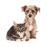 Terrier Mixed Breed Puppy and Tabby Kitten Royalty Free Stock Photos