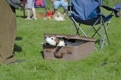 Terrier na mala de viagem Foto de Stock