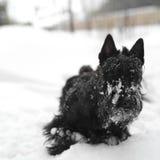 Terrier na neve Imagem de Stock