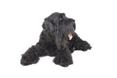 Terrier negro Imagen de archivo libre de regalías