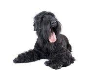Terrier negro Foto de archivo