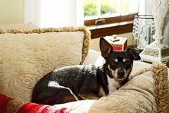 Terrier nero coccolato in cuscini Fotografia Stock Libera da Diritti