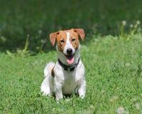 Terrier novo de Jack Russell do cão de cachorrinho Foto de Stock Royalty Free