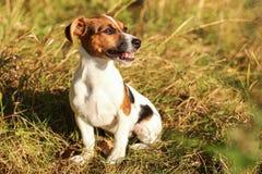 Terrier novo de Jack Russell que senta-se na baixa grama do outono, olhando imagens de stock royalty free