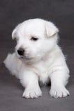Terrier ocidental do branco das montanhas fotos de stock royalty free