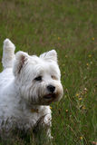Terrier ocidental do branco das montanhas fotografia de stock