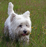 Terrier ocidental do branco das montanhas Foto de Stock