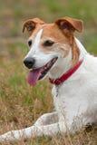 Terrier Pastorjack-Russell, der nach einem Lack-Läufer stillsteht Stockbild
