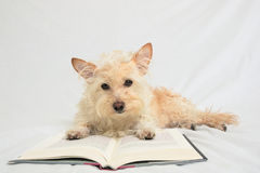 Terrier with paws on open book looking down at book Royalty Free Stock Photo