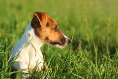 Terrier pequeno de Jack Russell que senta-se na grama que olha para tomar partido imagem de stock royalty free