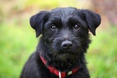 Terrier pies fotografia stock