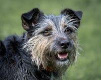 Terrier pies Obraz Royalty Free
