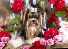 terrier and pink roses Royalty Free Stock Photo