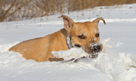 Terrier playing in the snow Royalty Free Stock Image