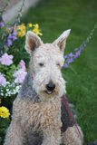 Terrier Poodle Mix and Garden Stock Images