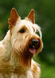 Terrier portrait Royalty Free Stock Image