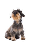 Terrier portrait Royalty Free Stock Images