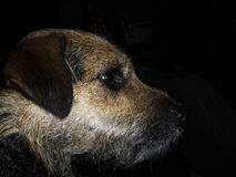 Terrier portrait  in profile Royalty Free Stock Image