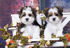 Terrier puppies Royalty Free Stock Images