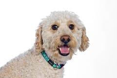 Terrier puppy Stock Photo