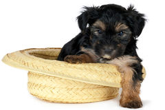 Terrier Puppy Royalty Free Stock Photo