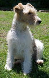 Terrier puppy. A cute fox-terrier puppy looking with a relaxed expression on her face on a hot day Stock Photo