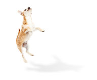 Terrier Puppy Dog Jumping Up Stock Photography