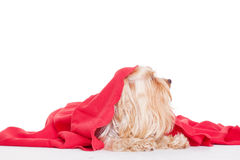 Terrier puppy dog under a blanket Royalty Free Stock Photo