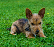 Terrier Puppy Stock Photos