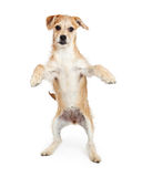 Terrier Puppy Standing With Paws Up Royalty Free Stock Photography
