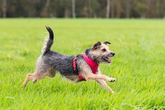 Terrier que corre através do campo que olha feliz Imagem de Stock Royalty Free