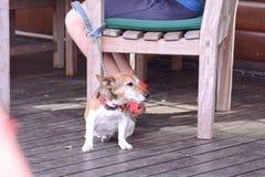 Terrier que espera por la tabla Foto de archivo libre de regalías