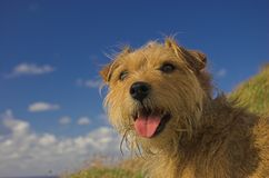 Terrier-Querhundesitzen glücklich Stockfoto