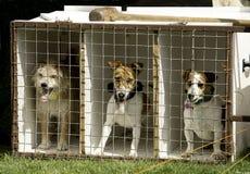 Terrier racing Stock Image