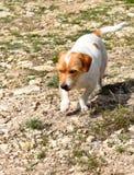 Terrier-Ranchhund lizenzfreie stockbilder