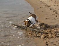 Terrier retrieving. Stock Photo