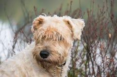 Terrier revestido suave Foto de archivo