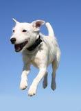 terrier russel jack Стоковые Фотографии RF