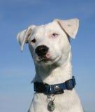 terrier russel jack Стоковая Фотография RF
