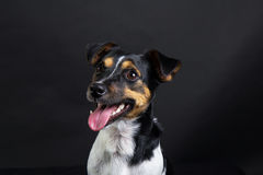 terrier russel jack стоковое изображение