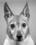 terrier russel jack Стоковые Изображения RF