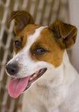 terrier russel jack Стоковое фото RF