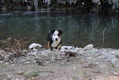 terrier russel jack Стоковое Фото